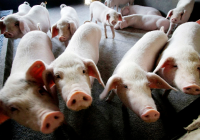 Surging global pig price heads towards record level